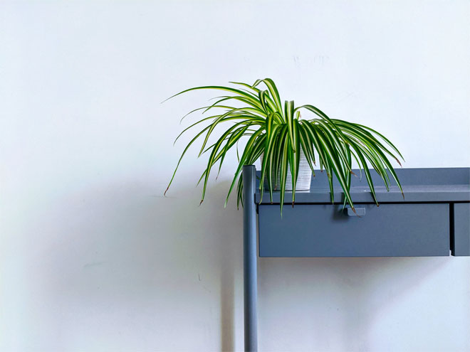 A spider plant on a chest of drawers